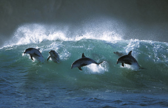 dolphins-surfing-off-the-coast-of-South-Western-Australia-June-2014